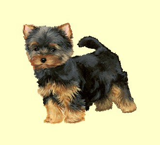 Accogli un cane di razza yorkshire