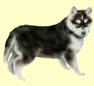 Accogli un cane di razza husky