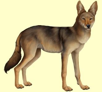 Coyote ##STADE## - manto 52